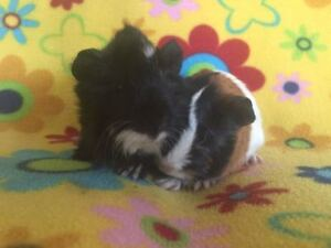 Adorable Young Guinea Pigs Ready to Leave