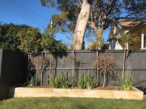 FREE FREE FREE five immature trees Cremorne North Sydney Area Preview