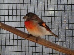 RED SISKIN COCK BIRD WANTED for lonely hen or young pair Wembley Cambridge Area Preview