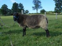 Gotland Yearling Ram - Rare breed sheep, great fleece