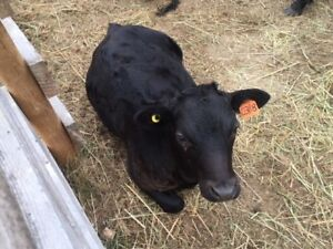 Young proven Dexter bull for sale