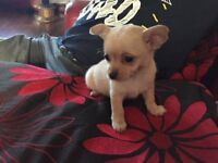 CUTE LITTLE GIRL CHIHUAHUA PUPPY FOR SALE