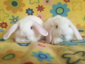 Baby Purebred Blue Eyed White Holland Lop Bunnies (RARE)