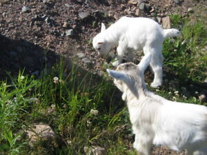 5 month old pygmy goats