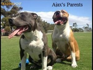 Pure Bred American Staffy Pups (blue bloodline) Glenroy Moreland Area Preview