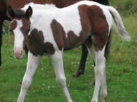 REGISTERED PAINT YEARLINGS