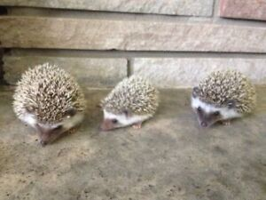 Adorable Baby Hedgehogs Ready to Leave