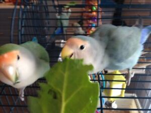 Lovebird | Adopt Local Birds in Calgary | Kijiji Classifieds