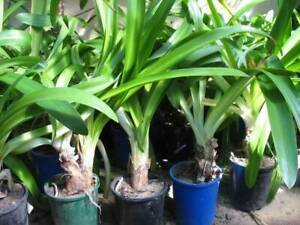 Large agapanthus, buy 10 get 1 free, plant now flower in Christmas