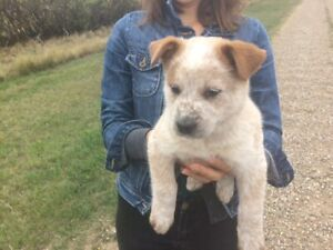 Adopt Dogs & Puppies Locally in Lethbridge | Pets | Kijiji