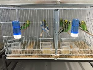 ENGLISH BUDGIES IMPORTS FROM EUROPE