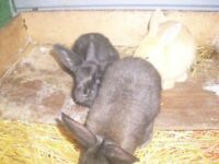 New Zealand/Giant rabbits