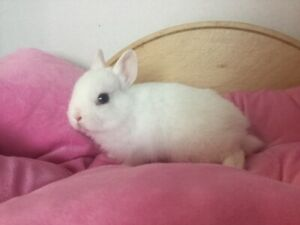 Pure breed Netherland dwarf white bunny with blue eyes