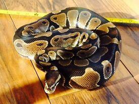 Beautiful Royal Python with Vivarium & Complete Set Up