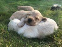 Australian type labradoodle puppy's