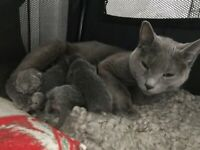 Pedigree Russian Blue Kittens