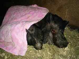 2 cochons vietnamien  ( 1 naine )