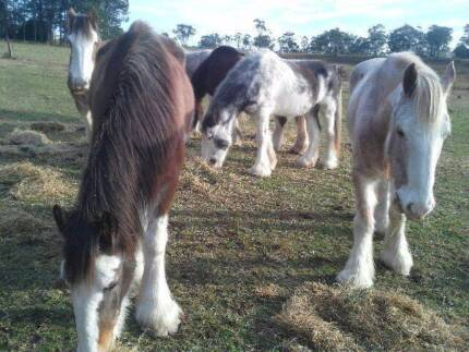 Clydesale horses to go to GOOD Homes. Central Mangrove Gosford Area Preview