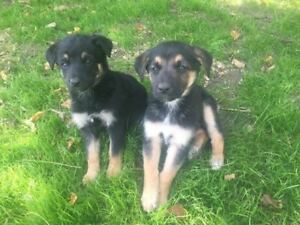 Beautiful German Shepherd Females Puppies for Sale!