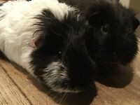 Free guinea pigs to good home