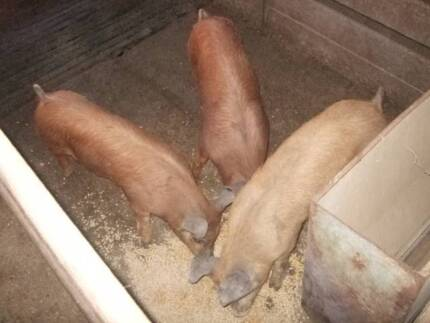 pigs/weaners Warialda Gwydir Area Preview