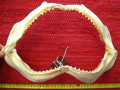 REEF SHARK JAW (36 x 23.5 cm) Jaws Teeth TAXIDERMY B