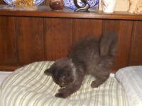 very pretty ragdoll/persian kittens