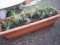 Lavender & Rosemary Herb Plants, £1 each. Great for wildlife & to add flavour in cooking