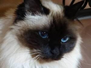 MISSING SINCE 10.8.16 FEMALE BIRMAN CAT SEAL POINT URGENT Secret Harbour Rockingham Area Preview