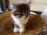 3 Stunning Female Maine Coon Kittens For Sale (All now reserved)
