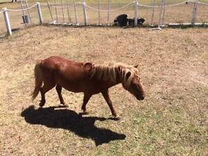 Miniature horse at Warnervale area Bankstown Bankstown Area Preview