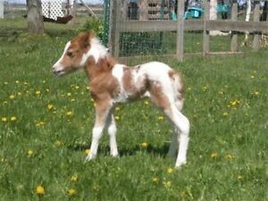2017 Miniature Pintaloosa Colt For Sale