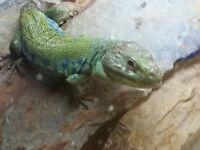 European eyed lizard,