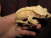 BEAUTIFUL CALM MALE CRESTED GECKO