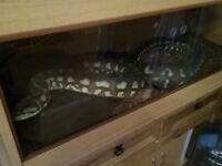 Carpet Python snake fully grown 7ft long