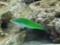 marine fish jade wrasse