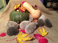 Super Cute Baby Hedgehogs - Starting at $150!
