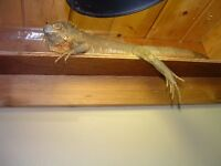 Red Iguana to experienced home only!