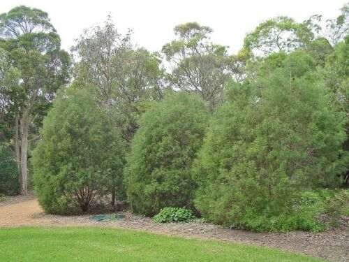 how to grow oyster bay pines
