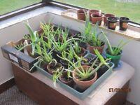Healthy Aloe Vera Plants ready for a new home