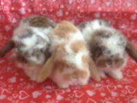 Baby Purebred Holland Lop Rabbit (Bunnies)- Ready to Leave!