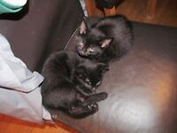 pair of black kittens to go together ready now