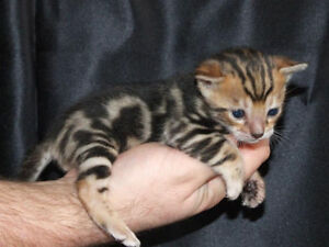 8 weeks bengal F6 marble pattern male