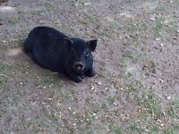 MICRO PIG FOR SALE