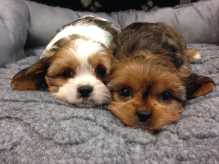 WANTED: Cavalier cross puppy/adult