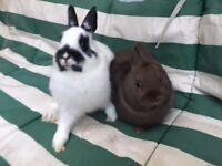 Baby Netherland Dwarfs Ready Now