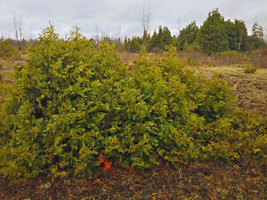 Hedge cedars starting at 3 ft. tall for sale