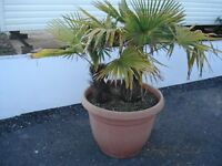 Twin Palms in Large Pot.