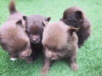 KC Pomeranian puppies - Chocolate and Black