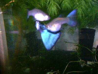 Blue Green Delta Long Fins Guppy Colony 1 Pair   7 Juvies Best Strain